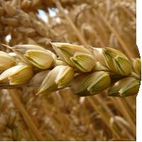 Dry Barley